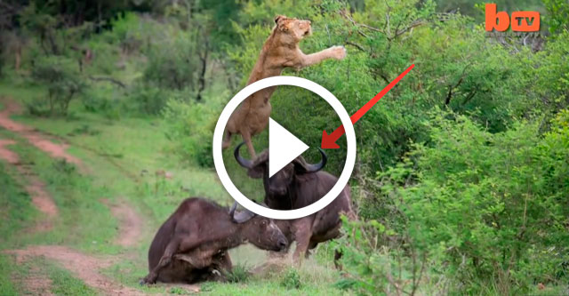 Буйвол напал на льва