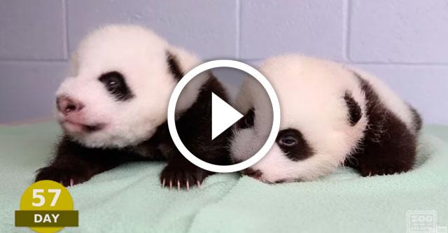 первые 100 дней жизни панд-близнецов