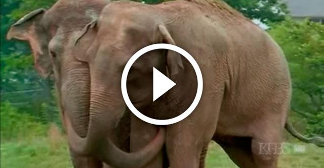 встреча двух слонов