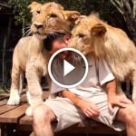 Парень обнимается со львами