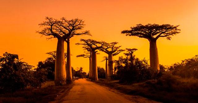 Аллея баобабов на Мадагаскаре