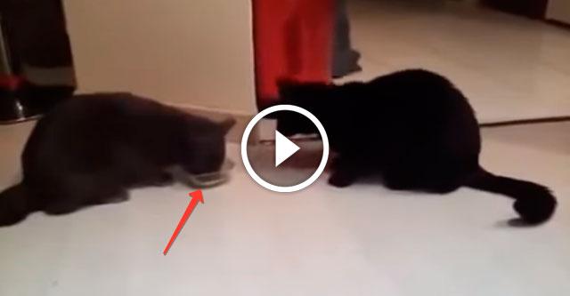 Коты не могут поделить корм