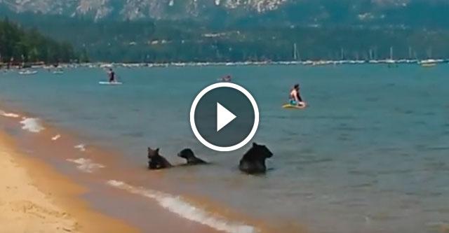 Медведица привела малышей на пляж