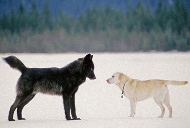 Волк, который приходил поиграть