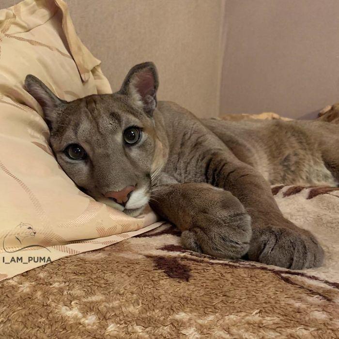 Маленькую пуму спасли из зоопарка, теперь это милый домашний котик