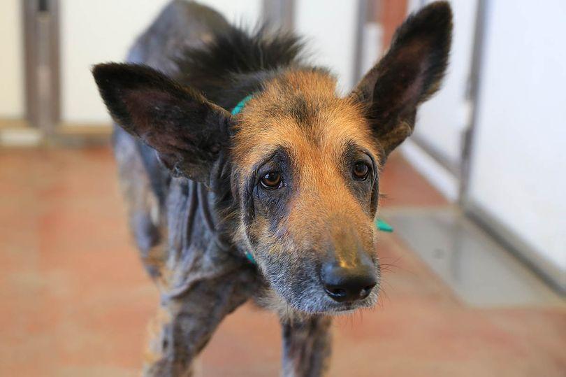Когда пес попал в приют на него было страшно смотреть… Женщина-волонтер взяла его к себе и произошло чудо