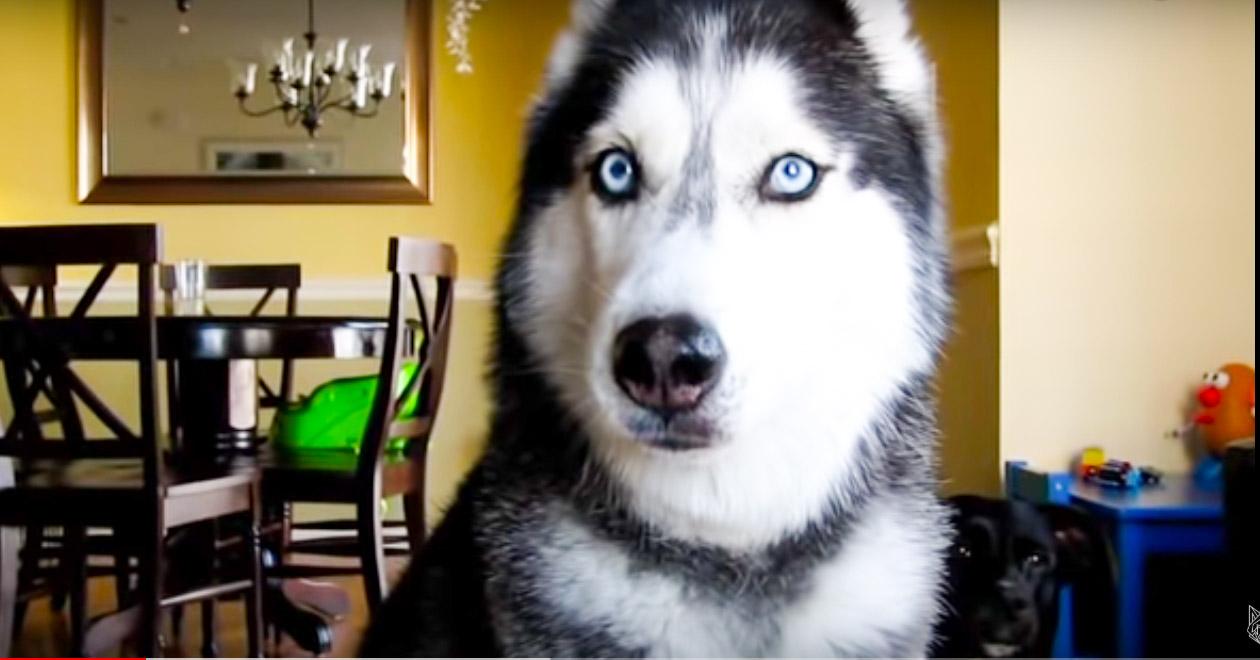 Этот красивый пес знает больше 10 слов!