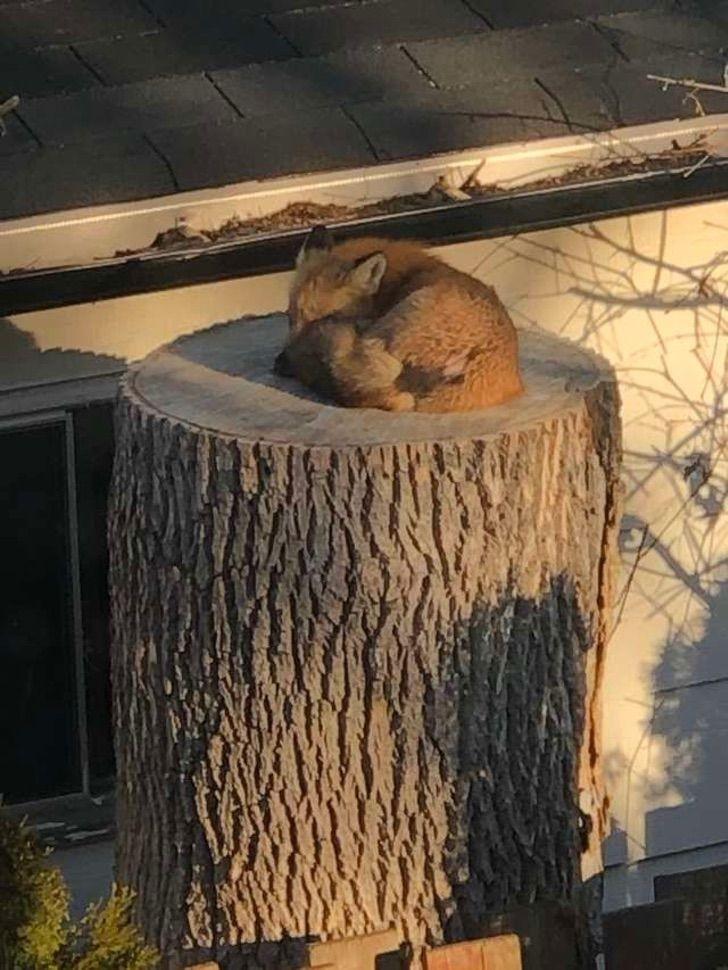Сладко спящая лиса на пне рассмешила канадцев и не только
