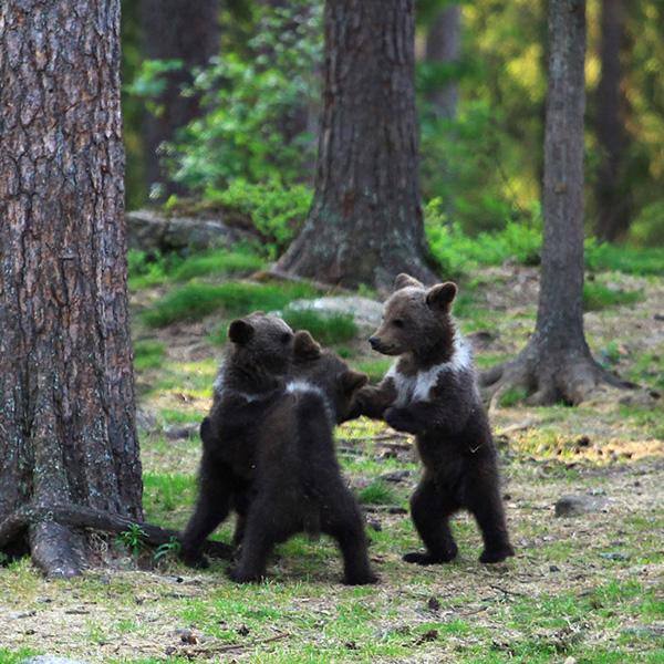 Мужчине удалось сделать редкие снимки «танцующих медвежат». Удивительное зрелище