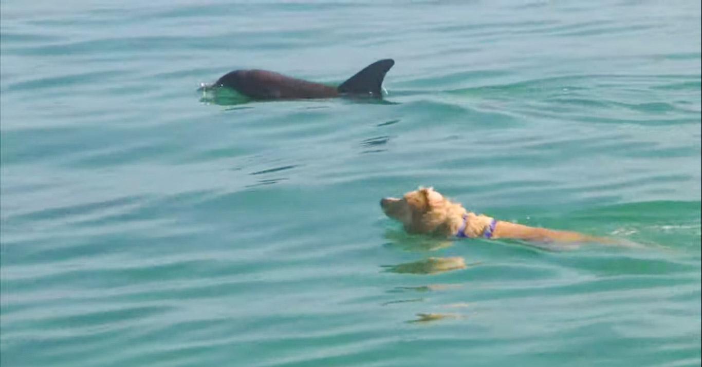 Необычная дружба: лабрадор почти каждый день бежит на пристань, чтобы поплавать со своими другом дельфином