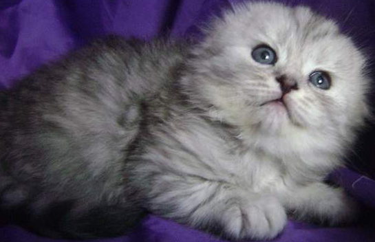 Котята породы хайленд-фолд, что может быть милее? Очаруйтесь вместе с нами