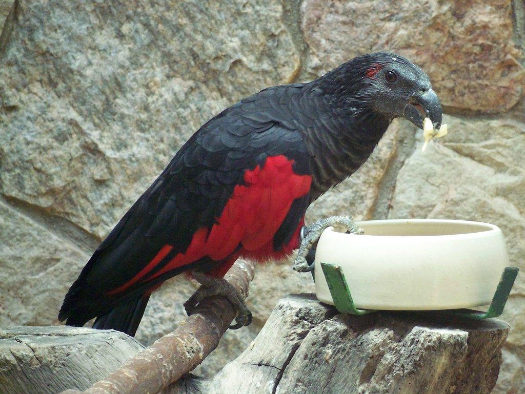 Орлиный попугай — птица, которая пугает и завораживает одновременно