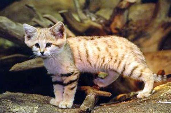 Барханные кошки — самая мелкая порода, даже будучи взрослыми они выглядят как котята