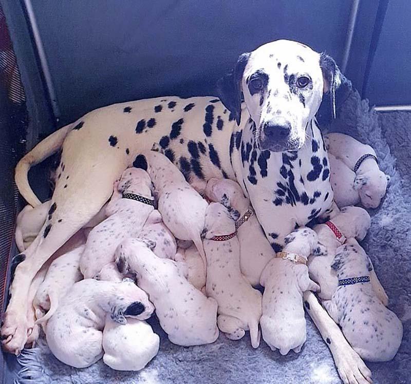 Многодетная мама: 18 щенков-далматинцев появились на свет у 3-летней Нелли
