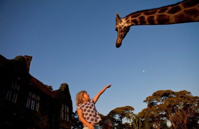 Обед с жирафами: необычный отель в Кении в котором эти животные частые гости