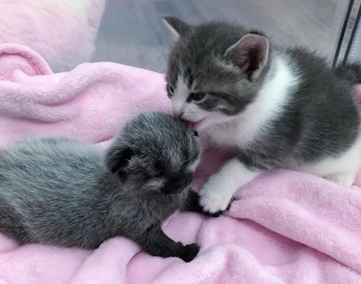 Девушка нашла котенка с необычным окрасом и взялась выхаживать его вместе со своей кошкой