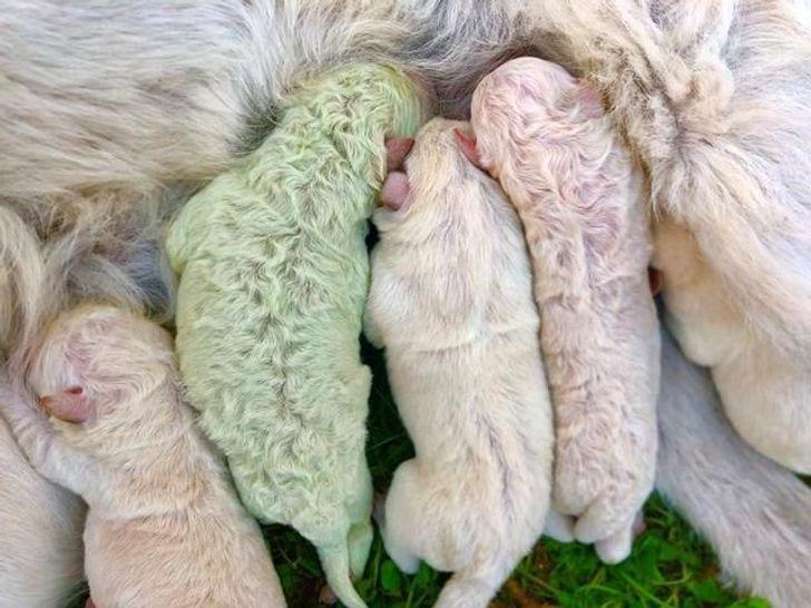 Маленький Шрек: на ферме родился щенок редкого зеленого окраса