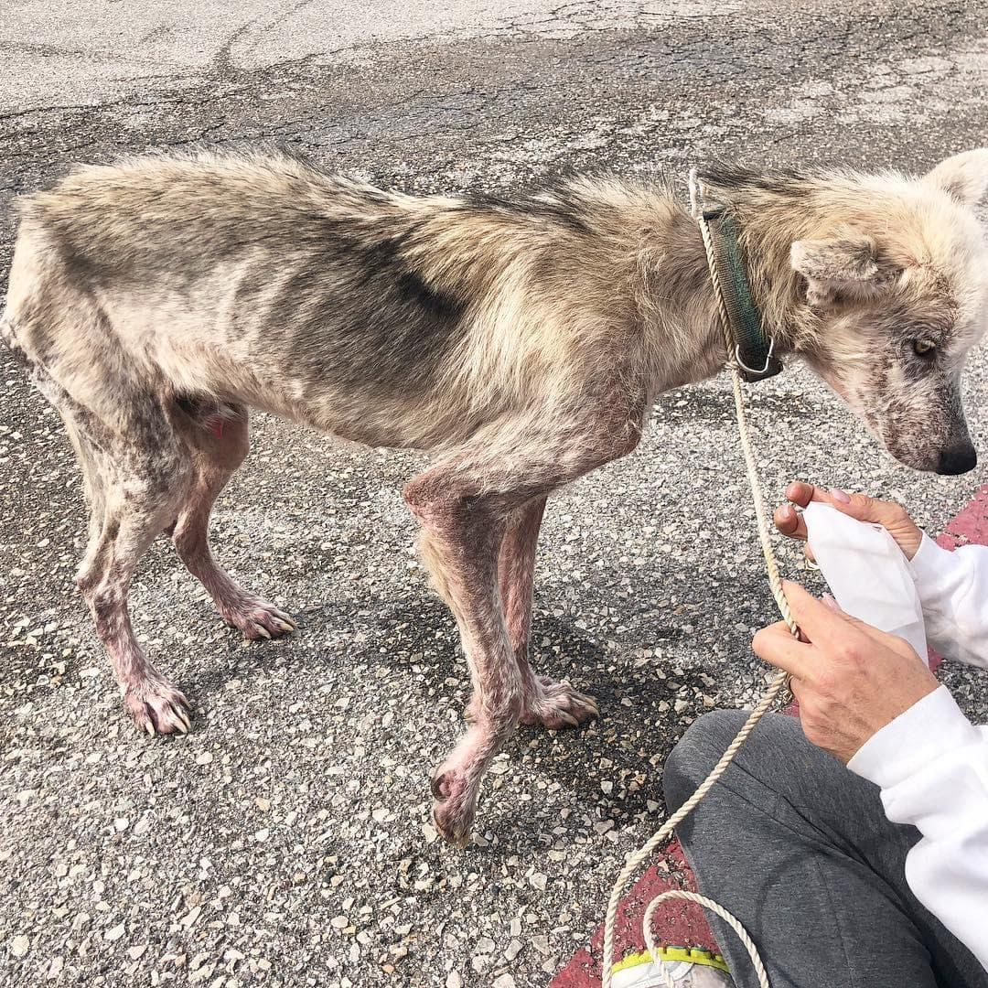 Волонтеры выходили пса породы хаски, который 2 года сидел на цепи. Посмотрите в какого красавца он превратился!