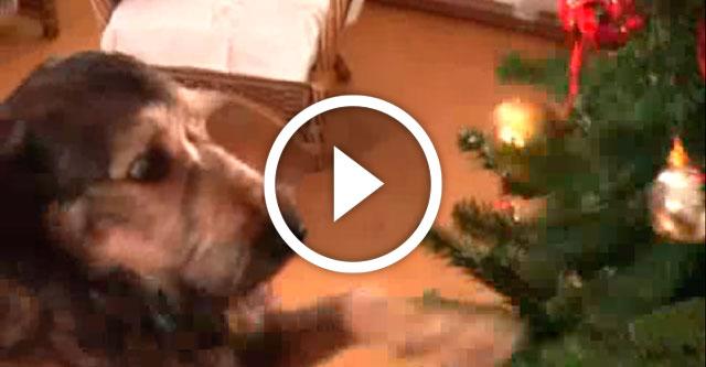 Собачки красиво украсили елку видео
