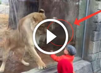 Встреча льва и ребенка