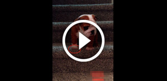 Щенок Английского Бульдого спускается с лестницы