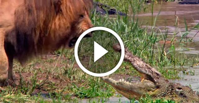 Лев против крокодила