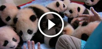 много маленьких панд - видео