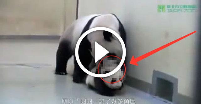 Мама панда укладывает детеныша спать
