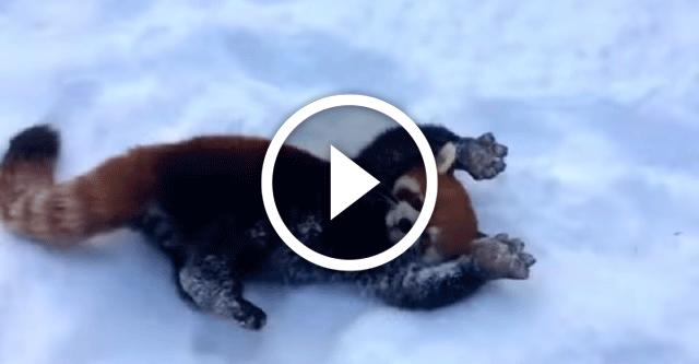 Малые красные панды играют в снегу