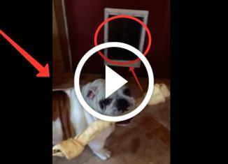 Бульдог пытается вынести кость через дверь