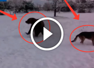 Овчарка играет с медведем