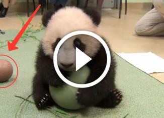 Маленькая панда с мячом