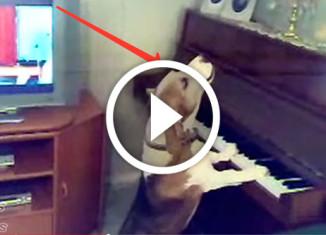 Собака играет на пианино и поёт