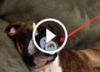 собака засыпает с соской