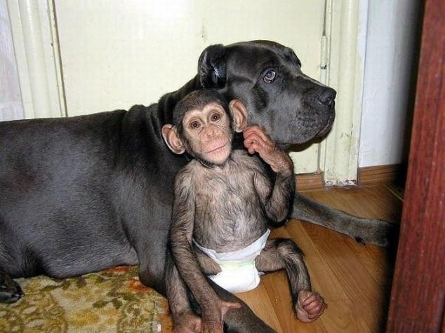собака усыновила обезьяну