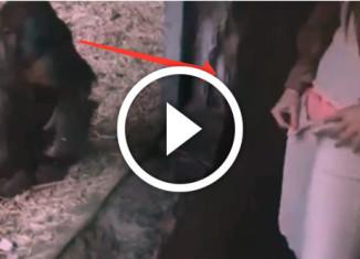 девушка очаровывает шимпанзе