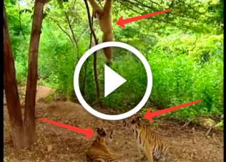 гиббон дразнит тигрят