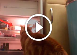 как кошки открывают холодильник