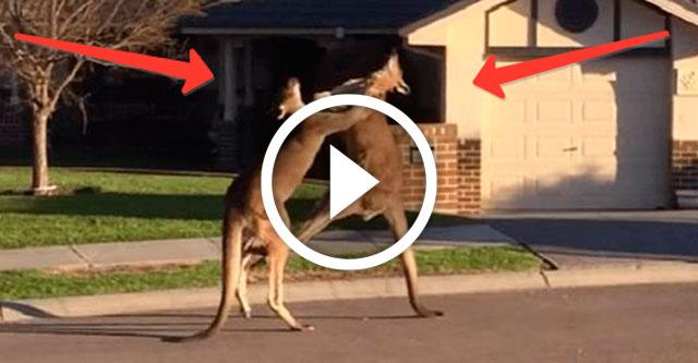 кенгуру дерутся на улице