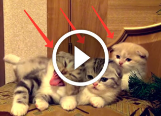 котята заразительно зевают