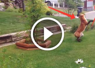 лиса играет игрушкой собаки