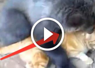 медвежонок играет с котом