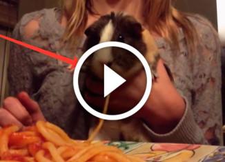 морская свинка ест макароны