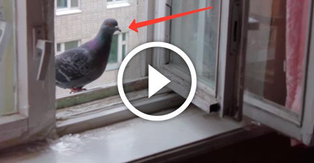 наглый голубь