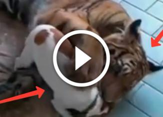 пес дружит с тигром