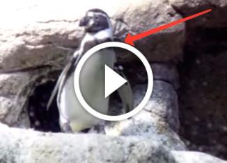 пингвин отжег
