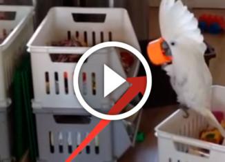 попугай какаду и интересная крышечка