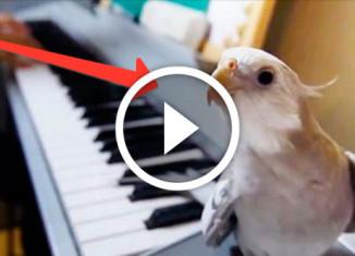 попугай насвистывает мелодию