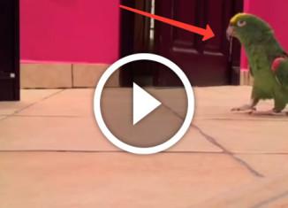 злорадный попугай