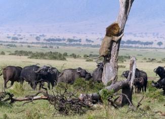 лев спасается от буйволов
